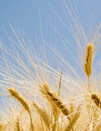 Gluten-free Diet Celiac Disease Wheat